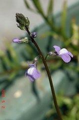 小さなマツバウンランの花。クリックすると大きくなりますR1。