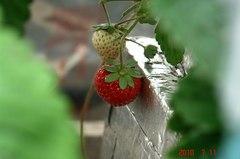 いまだにイチゴの実が赤くなってます。クリックすると大きくなりますR1。