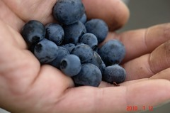 完熟ブルーベリーをちょっとだけですが収穫しました。クリックすると大きくなりますR1。
