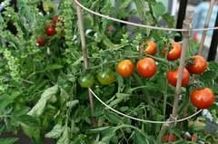 天使のトマトが熟してきました。クリックすると大きくなりますR1。