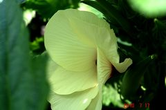 お気に入りのオクラの花です。クリックすると大きくなりますR1。
