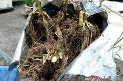 トウモロコシの根っこ。クリックすると大きくなりますR1。