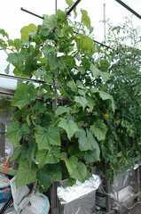 水耕栽培の四葉きゅうり。クリックすると大きくなりますR1。