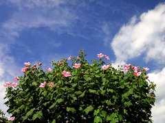 芙蓉の花が盛りです。クリックすると大きくなりますtx7。