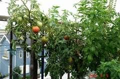 底面給水型コンポストタワーに育つ大玉トマトのおどりこ。クリックすると大きくなりますR1。