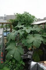 底面給水型コンポストタワーにいろいろ植えてます。クリックすると大きくなりますR1。