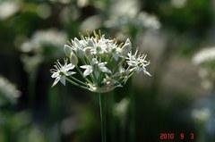 韮の花。クリックすると大きくなりますR1。