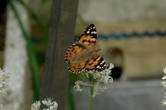 韮の花にヒメアカタテハがやってきました。クリックすると大きくなりますR1。