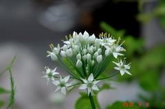 雨の中の韮の花。クリックすると大きくなりますR1。