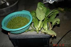 大葉の実とチンゲン菜の間引き収穫。クリックすると大きくなりますR1。