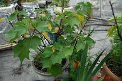 ちび助鉢植え芙蓉にやっと蕾が出てきました。クリックすると大きくなりますR1。