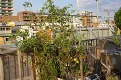 水耕栽培のミニトマトたちも復旧です。α55 SLT-A55VY DT 2.8/30 MACRO SAM。クリックすると大きくなります。