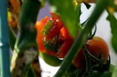 トマトが・・・