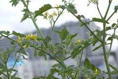 盛夏の落花対策にトマトトーン