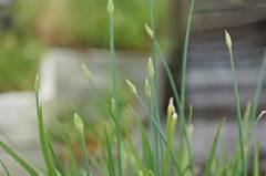 ニラの花芽が美味しい