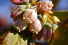 ブルーベリー、サンシャインブルーのピンクの花。α55 SLT-A55VY DT 2.8/30 MACRO SAM。クリックすると大きくなります。