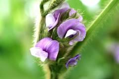 晩生枝豆の花